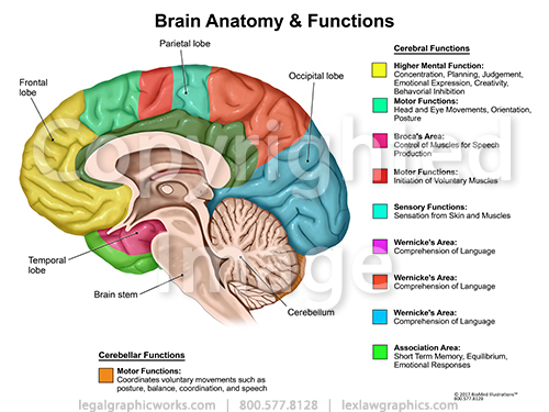 Brain Cross Sectional Anatomy Functions Legal Graphicworks