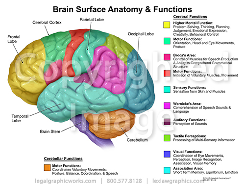 Brain Surface Anatomy And Function Diagram - Block And Schematic ...
