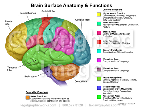 Brain Surface Anatomy & Functions - Legal Graphicworks