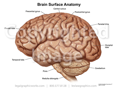 Two Views of Brain Surface Anatomy - Legal Graphicworks