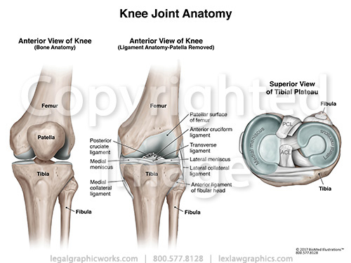 Anterior & Tibial View of Knee Joint Anatomy - Legal Graphicworks