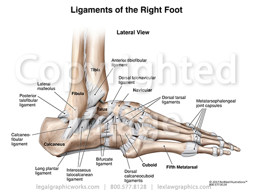 Lateral Right Ankle Ligaments Legal Graphicworks