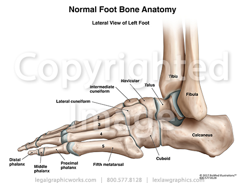 Lateral View Of Left Ankle Legal Graphicworks