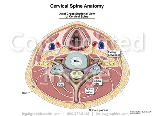 Cervical Anatomy - Legal Graphicworks